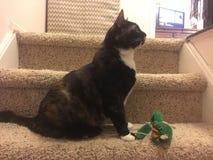 Il gatto di calicò gioca fiero & x22; mother& x22; per inverdirsi il topo del giocattolo & x22; baby& x22; Fotografie Stock