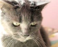 Il gatto di famiglia Immagini Stock