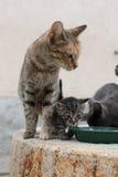 Il gatto di famiglia Immagine Stock