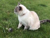 Il gatto di Gray Siamese ha preso un topo su un prato inglese verde un giorno di estate fotografia stock