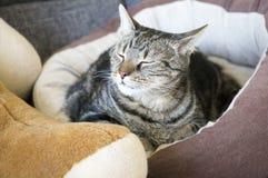 Il gatto di marmo che si rilassa nel letto marrone comodo del gatto con la zampa bianca stampa, bei occhi della calce, espression fotografia stock libera da diritti