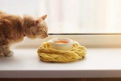 Il gatto di rosso odora una tazza calda di tè in una sciarpa su un davanzale della finestra Immagini Stock Libere da Diritti
