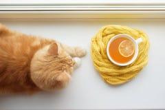 Il gatto di rosso odora una tazza calda di tè in una sciarpa su un davanzale della finestra Fotografia Stock