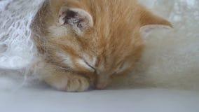 Il gatto di sonni del gattino dello zenzero avvolto nel bianco ha tricottato la lanugine della sciarpa fotografia stock libera da diritti