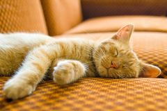 Il gatto di sonno Immagine Stock