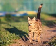 Il gatto di soriano è funzionamento di divertimento e veloce sul prato verde in primavera Fotografia Stock
