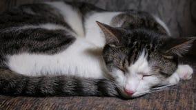 Il gatto di soriano calmo di sonno sta riposando nella casa, primo piano archivi video