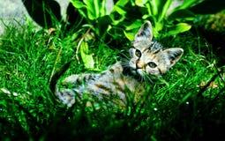 Il gatto di Tommy Immagine Stock