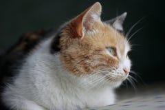 Il gatto distoglie lo sguardo immagine stock