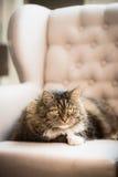 Il gatto dolce si trova sulla poltrona delle orecchie a casa e esamina la macchina fotografica Fotografie Stock