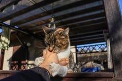Il gatto domestico aggressivo che gioca con la mano umana Sta pensando che quello sia il suo giocattolo ma non sia È bestia di at immagini stock libere da diritti