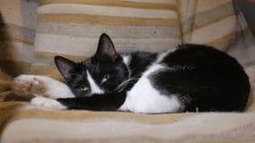 Il gatto domestico piacevole sta dormendo in sedia accogliente nella casa, in bianco e nero video d archivio