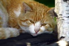 Il gatto domestico respira immagini stock libere da diritti