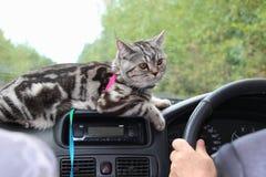 Il gatto domestico a strisce si trova nell'automobile vicino al volante Fotografia Stock
