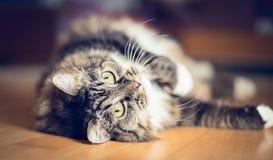 Il gatto domestico su un pavimento di legno e sta esaminando la macchina fotografica immagini stock libere da diritti