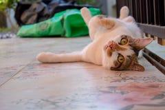 Il gatto e divertente svegli è animale domestico lanuginoso dei peli sonno bianco simile a pelliccia impertinente di bugia del co fotografie stock
