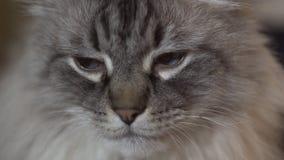 Il gatto esotico di Neva Masquerade Siberian con gli occhi azzurri affronta vicino su - rilassandosi a casa con una compressa che archivi video