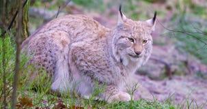 Il gatto europeo del lince si trova nella foresta all'inverno in anticipo video d archivio