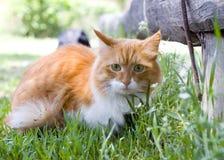 Il gatto fa una passeggiata sulla fine dell'erba in su Fotografie Stock Libere da Diritti