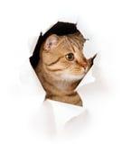 Il gatto in foro violento lato di carta ha isolato Fotografie Stock Libere da Diritti