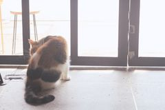 Il gatto grasso sta leccando e leccando, pulente stesso immagini stock libere da diritti