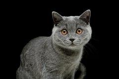 Il gatto grigio con giallo osserva su un fondo nero Immagini Stock Libere da Diritti