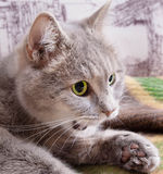 Il gatto grigio con gli occhi verdi leggermente ha aperto una bocca e guarda la a Immagine Stock