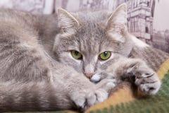 Il gatto grigio con gli occhi verdi si trova su un plaid di lana e desidera Fotografia Stock