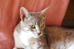 Il gatto grigio con le grandi orecchie ed occhi di giallo si trova sembrando il fondo rosa senza tetto fotografia stock libera da diritti