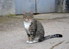 Il gatto grigio con il seno bianco si siede sulla via fotografie stock libere da diritti