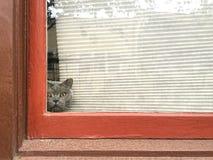 Il gatto grigio dà una occhiata a fuori da dietro i ciechi su una finestra incorniciata rossa fotografia stock libera da diritti