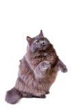 Il gatto grigio interessato si alza su Immagini Stock Libere da Diritti