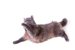 Il gatto grigio interestedly alza una zampa in su Fotografia Stock