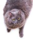 Il gatto grigio interestedly osserva in su Immagine Stock Libera da Diritti