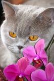 Il gatto grigio pensa Fotografia Stock Libera da Diritti