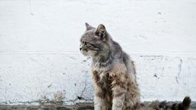 Il gatto grigio senza tetto lecca la lana, infelice e sporco malati sulla via video d archivio