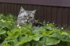 Il gatto grigio serio delle razze britanniche o scozzesi della razza si siede fotografia stock libera da diritti