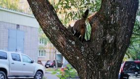 Il gatto grigio si siede su un albero stock footage