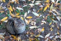 Il gatto grigio si siede sul terreno coperto di foglie di autunno gialle fotografie stock