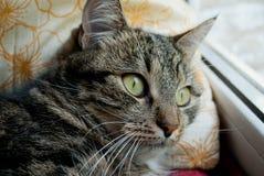 Il gatto grigio si trova su un davanzale della finestra su un fondo vago nei raggi del sole Fotografie Stock Libere da Diritti