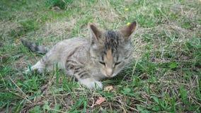 Il gatto grigio si trova sull'erba e la fiuta Il gatto ha preso un certo odore stock footage