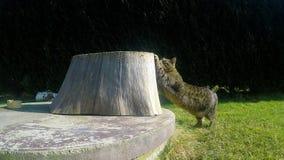 Il gatto grigio sta allungando sul giardino video d archivio