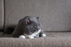 Il gatto grigio sta trovandosi Fotografia Stock Libera da Diritti