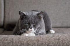 Il gatto grigio sta trovandosi Fotografia Stock