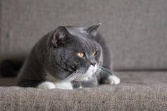 Il gatto grigio sta trovandosi Immagine Stock