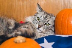 Il gatto grigio a strisce gioca con le zucche sulla bandiera americana Carte da parati per la festa Halloween fotografia stock