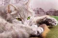 Il gatto grigio triste con gli occhi verdi Immagini Stock Libere da Diritti