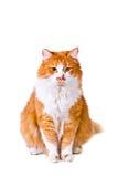 Il gatto guarda con interesse Fotografia Stock Libera da Diritti