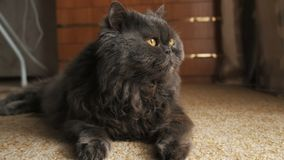 Il gatto guarda nella finestra, si trova sul tappeto e scuote la sua fine della coda su immagini stock libere da diritti