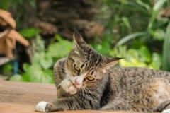 Il gatto ha leccato la sua propria gamba immagine stock libera da diritti